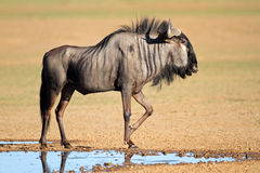 Blue wildebeest at waterhole Stock Image