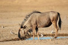 Blue wildebeest at waterhole Stock Photos