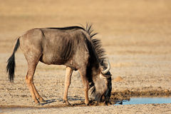 Blue wildebeest at waterhole Royalty Free Stock Images