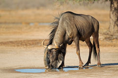 Blue wildebeest at waterhole Stock Photography