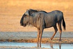 Blue wildebeest at waterhole Stock Image