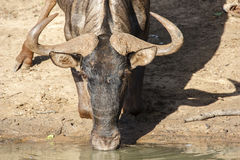 Blue wildebeest. Blue wilderbees at a drinking hole Stock Photo