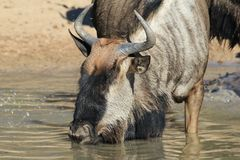 Blue Wildebeest - Wildlife from Africa - Quenching Thirst Stock Images