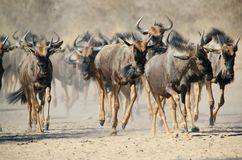 Blue Wildebeest - Wildlife from Africa - Stampede of Hoof and Dust. A herd of Blue Wildebeest run towards a watering hole on a game ranch in Namibia, Africa Royalty Free Stock Images
