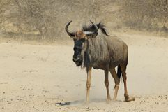 Blue Wildebeest - Wildlife Background from Africa - Dust Walk Royalty Free Stock Photo