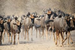 Blue Wildebeest - Wildlife Background from Africa - Dust Walkers Royalty Free Stock Images