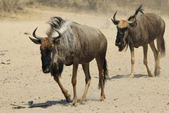 Blue Wildebeest - Wildlife Background from Africa - Walking the walk royalty free stock images