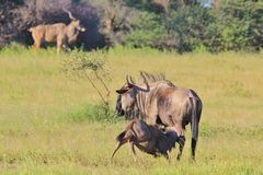 Blue Wildebeest - Wildlife Background - Nursing Nature Stock Photo