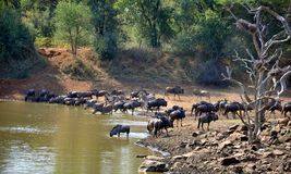 Blue Wildebeest & Zebra at Waterhole Royalty Free Stock Photography