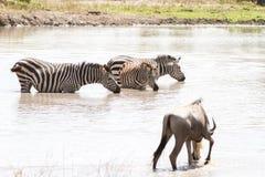 Blue wildebeest and zebras drinking water. Blue wildebeest Connochaetes taurinus, also called the common wildebeest, white-bearded wildebeest or brindled gnu Stock Images