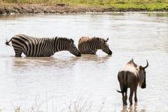 Blue wildebeest and zebras drinking water. Blue wildebeest Connochaetes taurinus, also called the common wildebeest, white-bearded wildebeest or brindled gnu Royalty Free Stock Photos