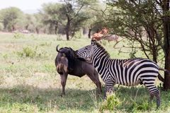 Blue wildebeest and zebras in the field. Blue wildebeest Connochaetes taurinus, also called the common wildebeest, white-bearded wildebeest or brindled gnu Royalty Free Stock Photo