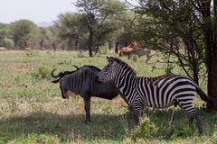 Blue wildebeest and zebras in the field. Blue wildebeest Connochaetes taurinus, also called the common wildebeest, white-bearded wildebeest or brindled gnu Royalty Free Stock Images
