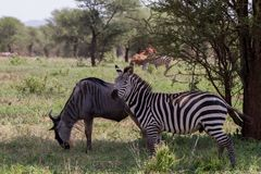 Blue wildebeest and zebras in the field. Blue wildebeest Connochaetes taurinus, also called the common wildebeest, white-bearded wildebeest or brindled gnu Stock Image