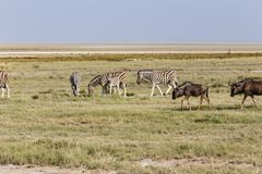 Blue Wildebeest and Zebras Royalty Free Stock Images