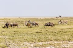 Blue Wildebeest and Zebras Stock Photo