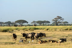 Blue wildebeests, Amboseli National Park, Kenya Royalty Free Stock Photos