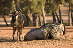 Blue Wildebeests antelopes Royalty Free Stock Images