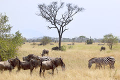 Blue wildebeests and common zebras Stock Photography