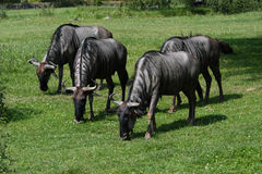 Blue wildebeests Stock Photography