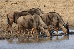Blue Wildebeests drinking water at a waterhole in Kruger National Park, South Africa royalty free stock photos