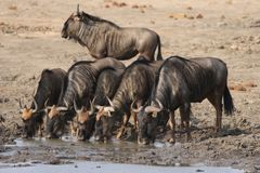 Blue Wildebeests drinking water at a waterhole in Kruger National Park, South Africa stock photo