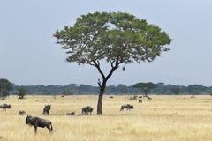 Blue wildebeests grazing around a tree Stock Photos