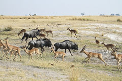 Blue Wildebeests and Impala Royalty Free Stock Images