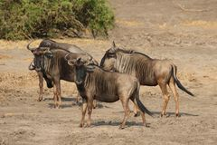 Blue Wildebeests in Kruger National Park, South Africa stock image