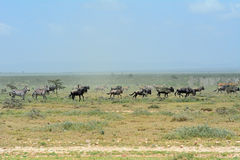 Blue wildebeests and plain zebras Royalty Free Stock Photo