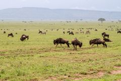 Blue wildebeests running and playing in Serengeti landscape Royalty Free Stock Photo