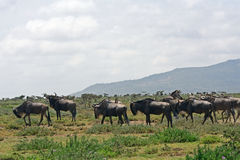 Blue wildebeests Stock Photos