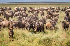 Blue Wildebeests Stock Image