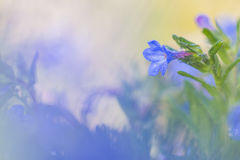 Blue wildflower at sunrise. In the field Royalty Free Stock Photography