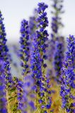 Blue wildflowers Stock Image