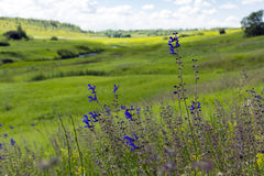 Blue wildflowers on a background of green meadows, river floodpl. Blue wildflowers on a background of green meadows, the floodplain of the river landscape Stock Photography