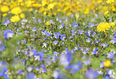 Blue wildflowers Royalty Free Stock Image