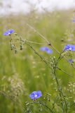 Blue wildflowers Royalty Free Stock Photography