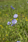Blue wildflowers  chicory (Cichorium intybus) in summer field. Common chicory, Cichorium intybus  is a somewhat woody, perennial herbaceous plant of the Stock Photos