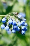 Blue Wildflowers Royalty Free Stock Photo