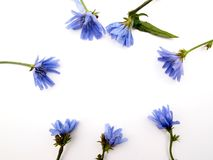 Blue wildflowers cornflowers in a circle and place for text. Blue wildflowers cornflowers 7 objects in a circle on a white surface isolate outdoors with green Royalty Free Stock Images