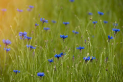 Blue wildflowers cornflowers in the field at sunrise Royalty Free Stock Photography