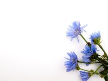 Blue wildflowers cornflowers on the right  and place for text. Blue wildflowers cornflowers 7 objects bouquet, bunch on the right in the corner, at the bottom Royalty Free Stock Photo