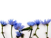 Blue wildflowers cornflowers in a row and place for text. Blue wildflowers cornflowers 7 objects in a row  on a white surface isolate outdoors with green stems Stock Images