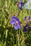 Blue wildflowers Royalty Free Stock Photos