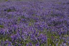 Blue wildflowers in the meadow. As background Royalty Free Stock Photos
