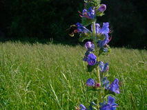 Blue wildflowers in the meadow. With an insects around Stock Image