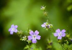Blue wildflowers Stock Image