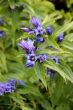 Blue willow gentian with shallow green background royalty free stock photography