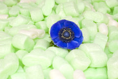 Blue windflower in green isolation foam Royalty Free Stock Images